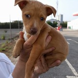 Silae, Chiot  à adopter