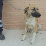 Ares, Chien  à adopter