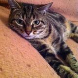 Meredith, Chat européen à adopter