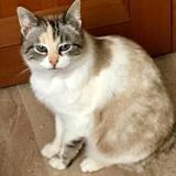 Shanti, Chat européen à adopter