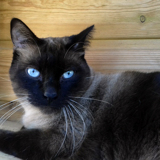 O'malley superbe siamois, Chat  à adopter