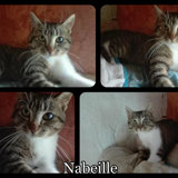 Nabeille, Chat  à adopter