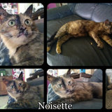 Noisette, Chat  à adopter