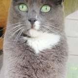 Orlynn, Chat européen à adopter