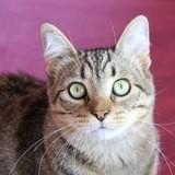 Stella femelle tigrée de 4 ans, Chat à adopter