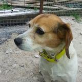 Jade, Chien beagle à adopter