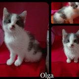 Olga, Chaton européen à adopter