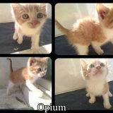 4 chatons mâles roux, Chaton  à adopter
