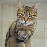 Mimi-cat, Chat européen à adopter