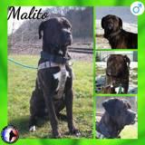 Malito, Chien cane corso à adopter