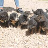 6 chiots a reservé, Chiot  à adopter