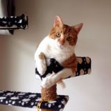 Frère tuck, Chat européen à adopter