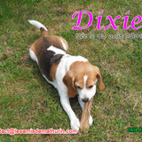 Dixie, Chien beagle à adopter
