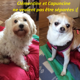 Capucine et clementine, Chien chihuahua à adopter