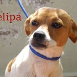 Felipa, Chiot  à adopter