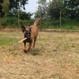 Nala, Chiot berger belge à adopter