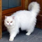 Sulli - persan blanc, Chat persan à adopter