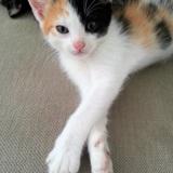 Marguerite, Chaton européen à adopter