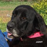 Jany, Chien mâtin espagnol à adopter