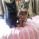 Caramel et johnny, Chat européen à adopter