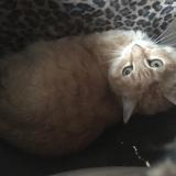 Kimiko, Chat européen à adopter