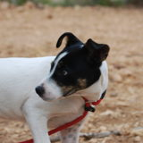 Cosmo, Chiot  à adopter