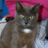 Opaline, Chat européen à adopter