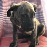 Gabrielle, Chiot cane corso à adopter