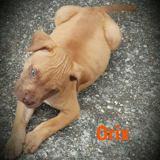 Orix, Chiot boxer à adopter