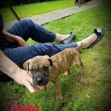 Ouka, Chiot boxer à adopter