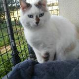 Penelope, Chat européen, siamois à adopter