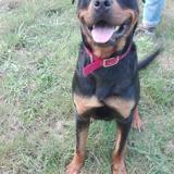 Norton, Chiot rottweiler à adopter
