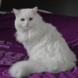 Aya, Chat européen à adopter