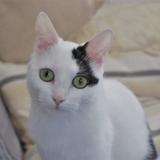 Zana, Chat européen à adopter