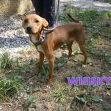 Whisly n°14410, Chiot pinscher à adopter