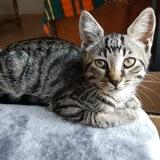 Leon, Chaton  à adopter