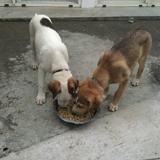 Laika, Chiot  à adopter