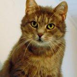 Joy femelle tigrée/gris de 4 ans, Chat  à adopter