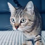 Lev, Chat européen à adopter