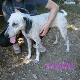 Gamine n° 14301, Chien setter anglais à adopter