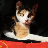 Bonnie, Chat  à adopter