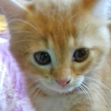 Cookie chaton roux et blanc, Chaton  à adopter