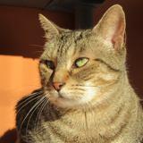 Pétunia, Chat européen à adopter