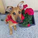 Choupa, chiot femelle croisée, Chiot  à adopter
