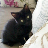 Shirley chatonne noire, Chaton  à adopter