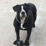 Ginger, Chien bulldog à adopter