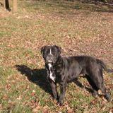 Ivana, Chien bulldog à adopter