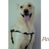 Penny, Chien  à adopter