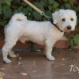 Toy, Chien  à adopter