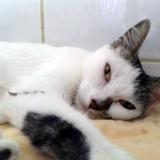 Milka l'élégante, Chat  à adopter